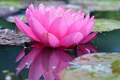 Nymphaea Zores 2002 by Dieter Bechthold