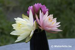 Waterlelies als snijbloemen!