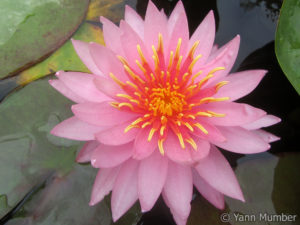 Nymphaea Jane's Cotton Candy