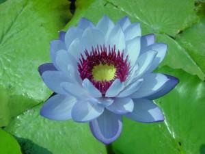 Nymphaea immutabilis X Nymphaea colorata