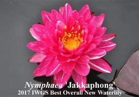 Nymphaea Jakkaphong - winner IWGS competition 2017