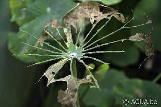 Lotus: rupsen