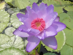Nymphaea Julia Leu x Nymphaea colorata