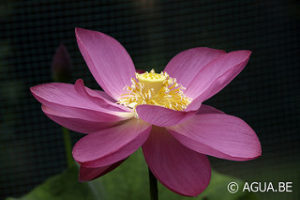 Nelumbo Qingling Red