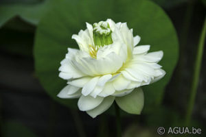 Nelumbo White Pear Flower