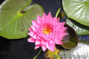 Nymphaea Claire