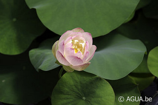 Nelumbo Pink Butterfly