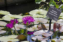 Nymphaea Purple Fantasy