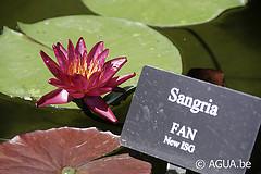 Nymphaea Sangria