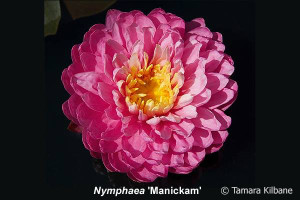 Nymphaea Manickam